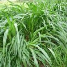 供应优质多年生黑麦草种子图片