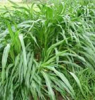 多年生黑麦草种子图片/多年生黑麦草种子样板图 (1)