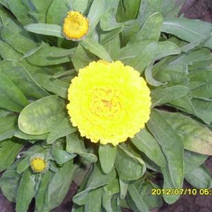 金盏菊种子专业生产图片