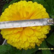 金盏菊棒棒种子报价图片
