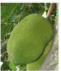 供应广东四季树菠萝苗批发价格比较便宜