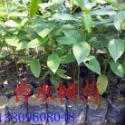 供应广东香水树苗种植基地