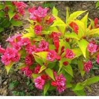 供应园林绿化花卉海棠