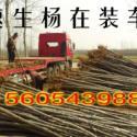速生杨107黑杨菏泽速生杨济南图片