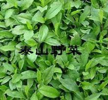 供应马兰头种苗马兰头种子刺梨种子菜用藿香种子菜用板蓝根种子批发