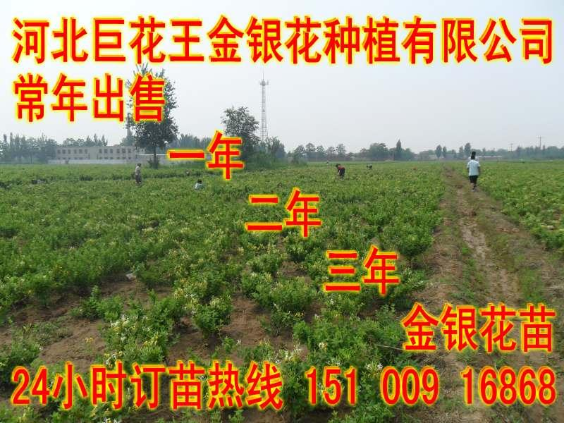 供应优质精选金银花苗木养殖技术