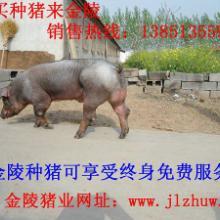 供应江苏最新种猪猪崽价格咨询13851355986批发