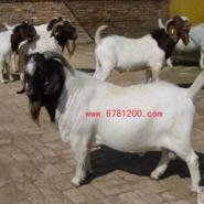 波尔山羊价格波尔山羊行情图片