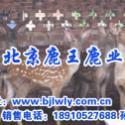 山西绛县梅花鹿养殖利润图片