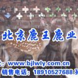 供应新疆梅花鹿养殖