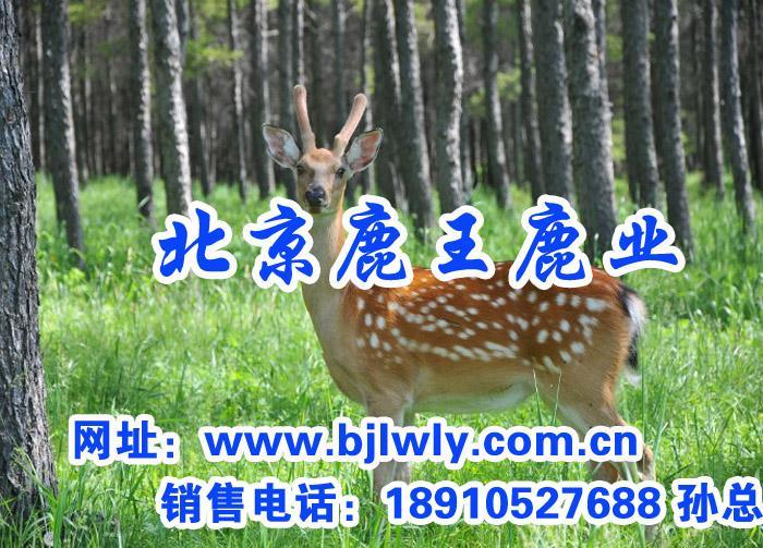 供应梅花鹿鹿肉价格,山西北京鹿王鹿业梅花鹿种鹿出售