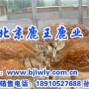 供应2011广东梅花鹿养殖