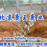 山西省临猗梅花鹿市场价格图片