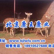 山西省榆社县梅花鹿养殖技术图片
