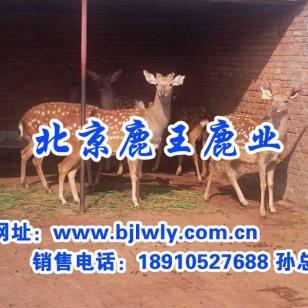 山西省榆社梅花鹿养殖技术图片