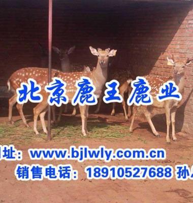 梅花鹿养殖图片/梅花鹿养殖样板图 (1)