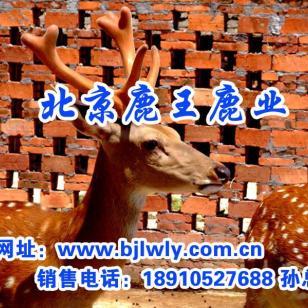 也有主张是鹿科动物梅花鹿的胎图片