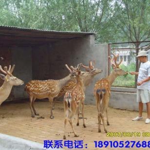 陕西梅花鹿2011梅花鹿陕西养殖图片