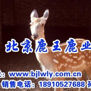 山西闻喜县梅花鹿养殖产业图片