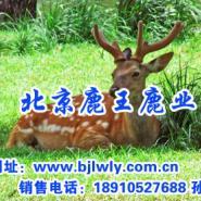 2012年山西梅花鹿畜牧技师图片