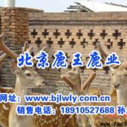 供应梅花鹿锯茸方法,梅花鹿价格,鹿茸药用价值,梅花鹿吃法