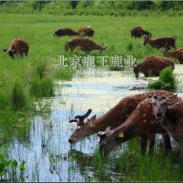 云南梅花鹿养殖基地007图片