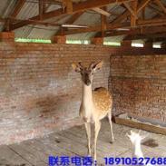 2010年梅花鹿种鹿价格图片