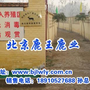 梅花鹿养殖在北京图片
