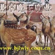 云南梅花鹿的种鹿价格图片