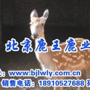 山西省太谷梅花鹿养殖效益图片