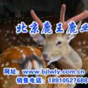陕西省蓝田梅花鹿养殖利润图片