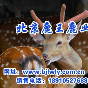 陕西省周至梅花鹿养殖效益图片
