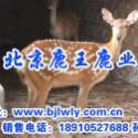 供应梅花鹿养殖,梅花鹿养殖技术,山西省泽州梅花鹿,梅花鹿养殖成本