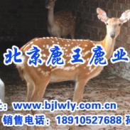 山西省忻州市梅花鹿养殖场图片