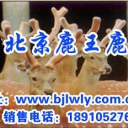 天津梅花鹿养殖技术开发商图片