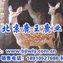 山西寿阳梅花鹿养殖场图片