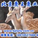 山西省壶县关梅花鹿养殖图片
