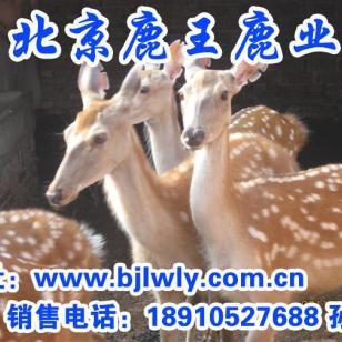 山西宁武梅花鹿养殖行业分析图片