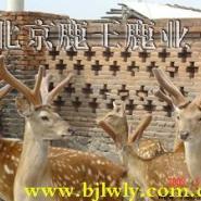 四川梅花鹿养殖场依靠鹿王养鹿技术图片