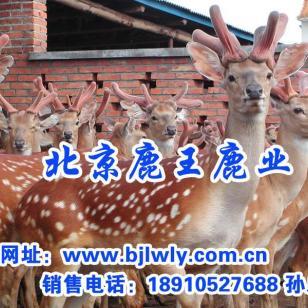 鹿类动物是最有经济利用价值的动物图片