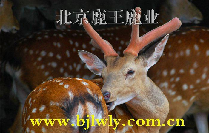 供应北京梅花鹿养殖技术,北京梅花鹿繁育,北京梅花鹿种鹿,双阳鹿场
