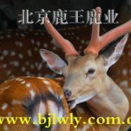 梅花鹿价格2011年的梅花鹿价格图片