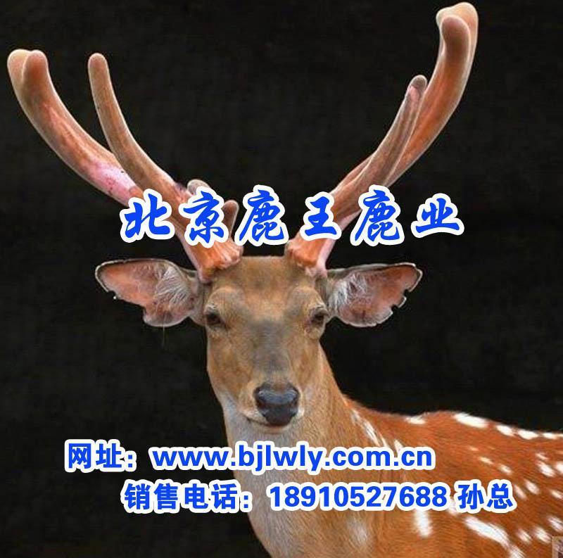 梅花鹿,北京优质梅花鹿鹿肉出售