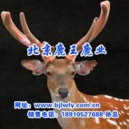 供应梅花鹿锯茸技术鹿王鹿业梅花鹿养殖