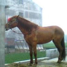供应马匹价格-马匹出售-马的品种-山东大型娱乐养马场批发
