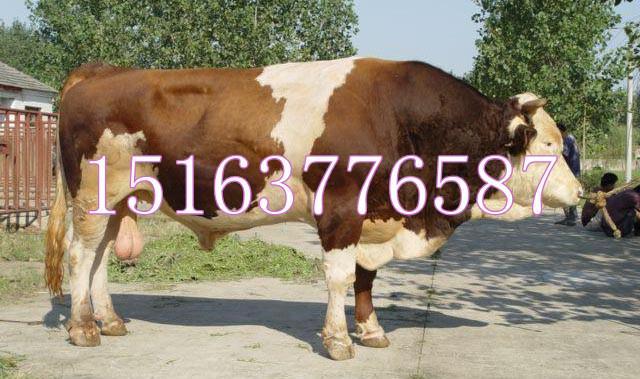 供应山东肉牛犊价格鲁西黄牛牛犊价格西门塔尔牛牛犊价格