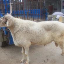 供应山东小尾寒羊养殖基地小尾寒羊价格山东小尾寒羊批发