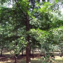 供应银杏绿化苗木
