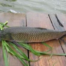 供应用于淡水鱼养殖的草鱼苗价格大头鱼苗茂名市茂南区图片