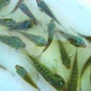 广西省河池市供应批发优质罗非鱼苗图片